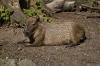 Capybara(Wasserschwein)