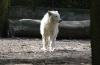 Arktiswolf